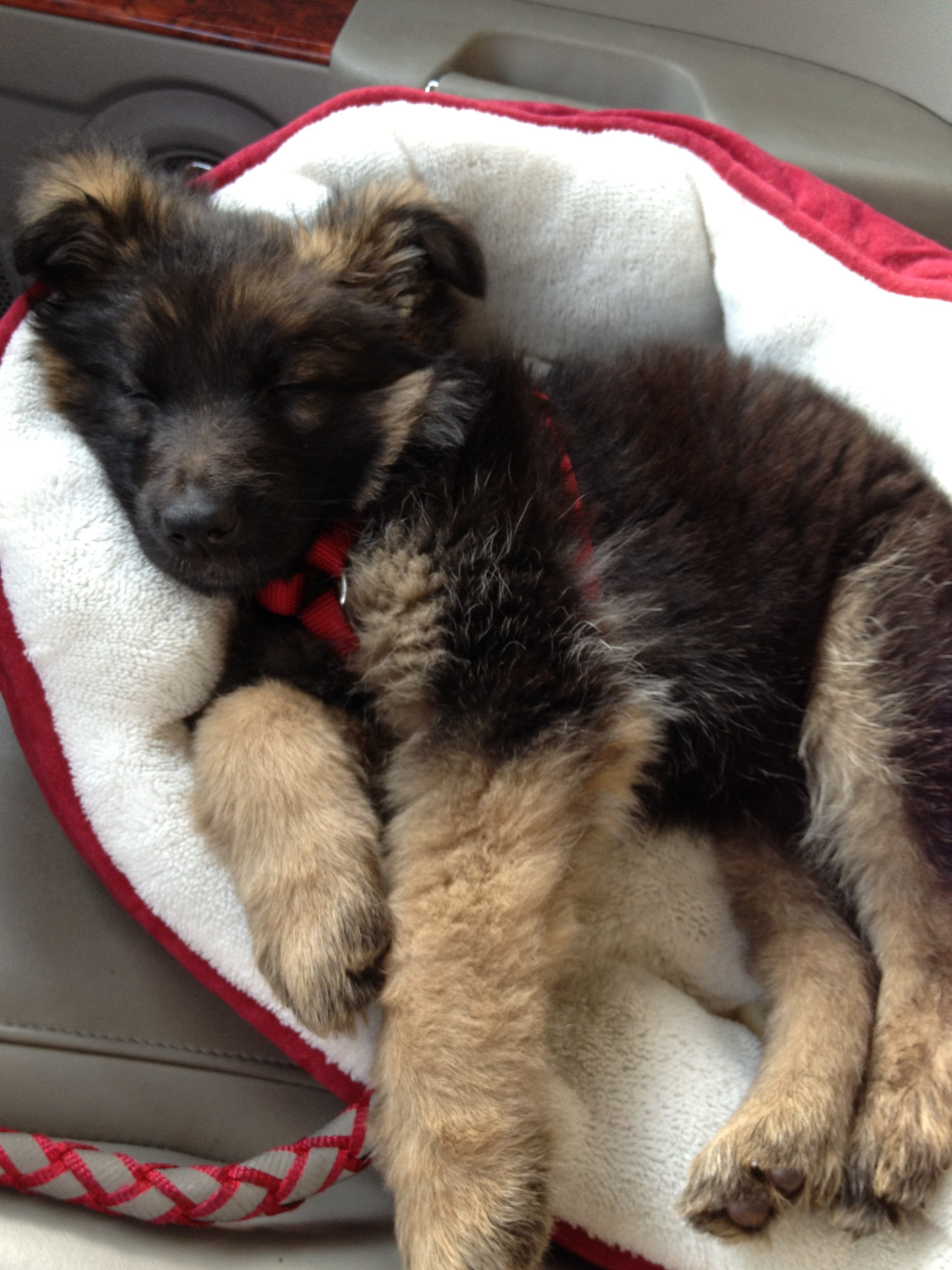 currently crushing, elke, long hair german shepherd puppy
