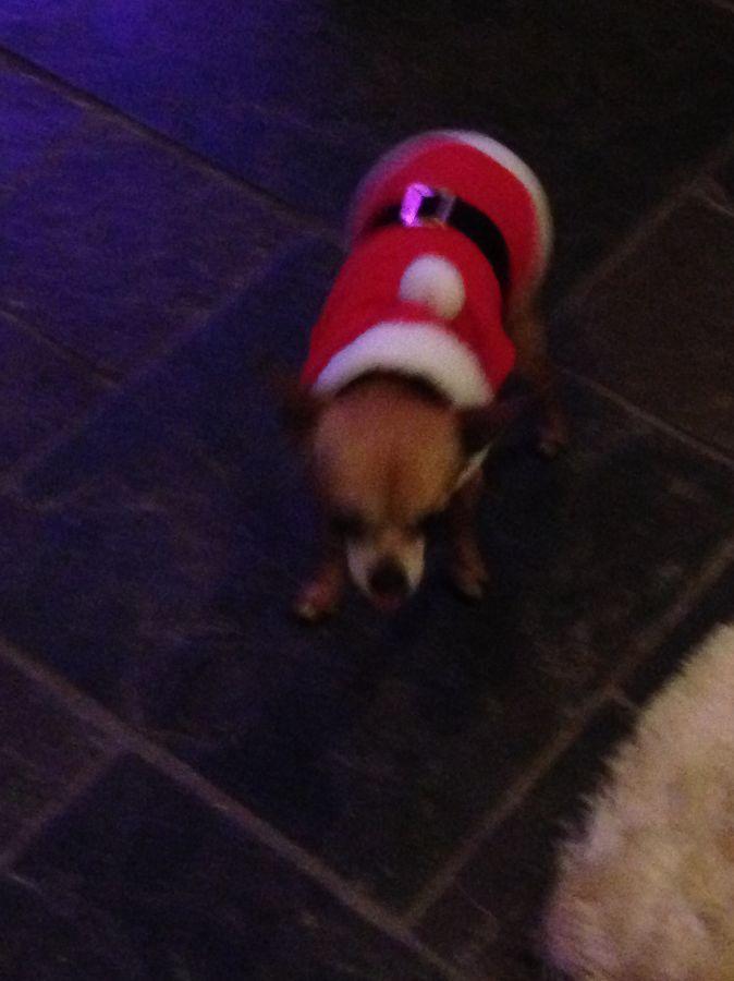 puppy in santa suit